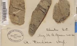 Arthothelium taediosum image