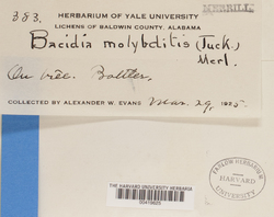 Bacidina medialis image