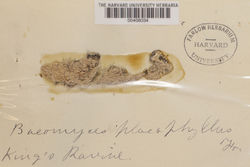 Baeomyces placophyllus image