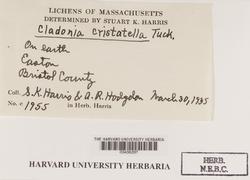Cladonia cristatella image