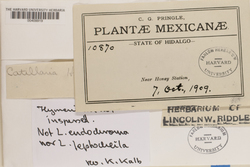 Megalaria leptocheila image