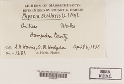 Physcia stellaris image
