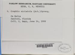 Graphis striatula image