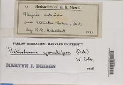 Heterodermia granulifera image