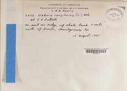 Cladonia rangiferina image