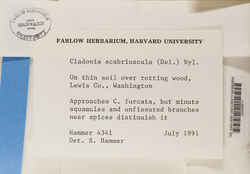 Cladonia scabriuscula image