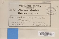 Cladonia stellaris image