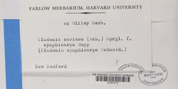 Cladonia symphycarpa image