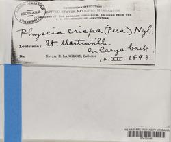 Physcia crispa image