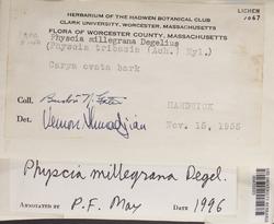 Physcia millegrana image