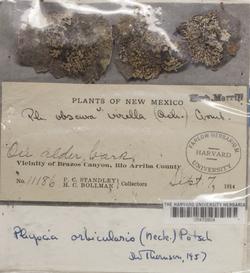 Phaeophyscia orbicularis image