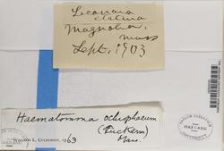 Loxospora ochrophaea image