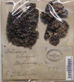 Tuckermanopsis ciliaris image