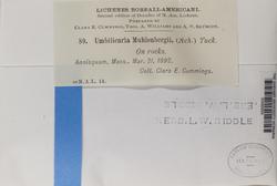 Umbilicaria muhlenbergii image
