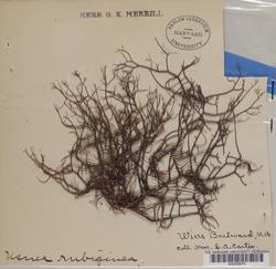 Usnea rubicunda image