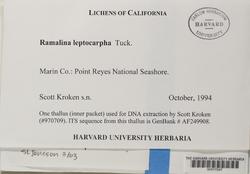Ramalina leptocarpha image
