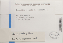 Ramalina willeyi image