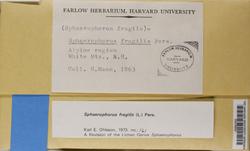 Sphaerophorus fragilis image