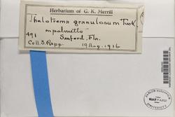 Rhabdodiscus granulosus image