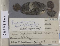 Parmeliella corallinoides image