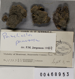 Parmeliella pannosa image