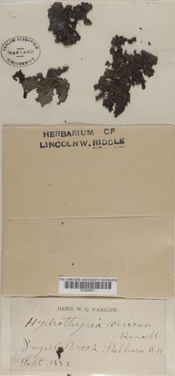 Peltigera hydrothyria image