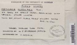 Pertusaria globularis image