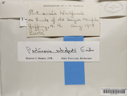 Pertusaria rubefacta image