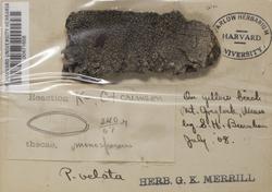 Varicellaria velata image