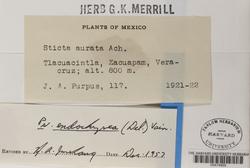 Pseudocyphellaria coronata image