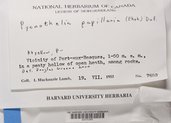 Pycnothelia papillaria image