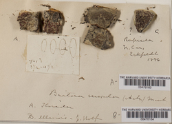 Ramboldia russula image