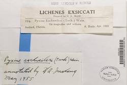Pyxine eschweileri image
