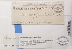 Ramalina americana image