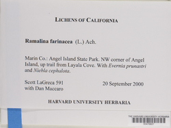 Ramalina farinacea image