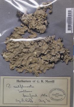Parmotrema sulphuratum image