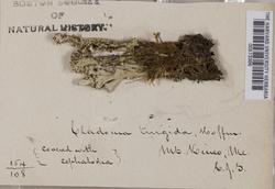 Cladonia turgida image