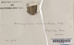 Coenogonium disjunctum image