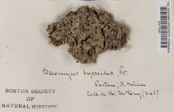 Baeomyces rufus image