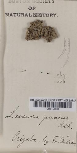 Haematomma puniceum image