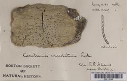 Stictis urceolatum image