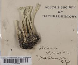 Cladonia deformis image