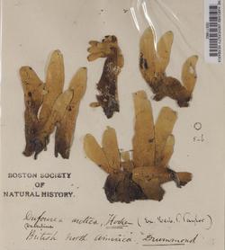 Dactylina arctica image