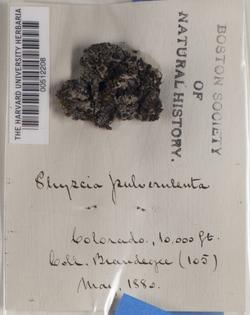 Physcia pulverulenta image
