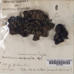 Umbilicaria caroliniana image