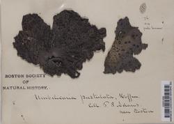 Umbilicaria pustulata image
