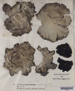 Umbilicaria vellea image