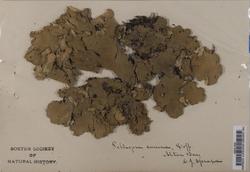 Peltigera canina image