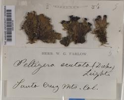 Peltigera collina image