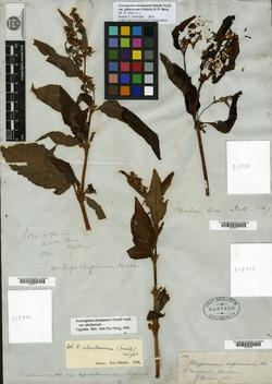 Image of Koenigia alaskana